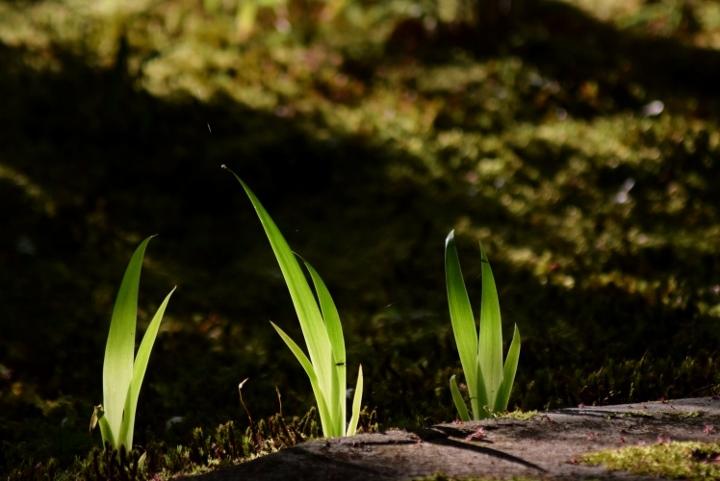 シャガの葉
