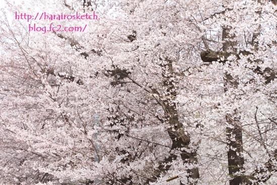 桜201704-12