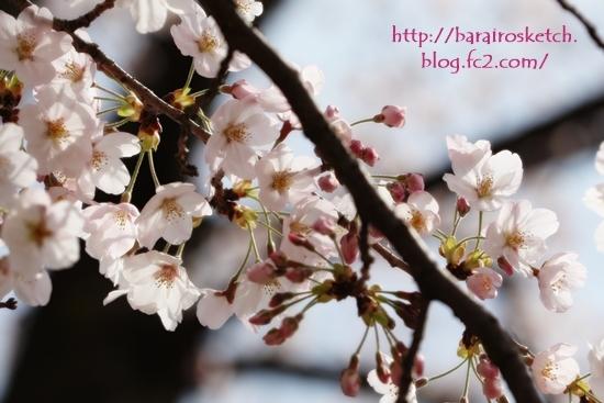 桜201704-13