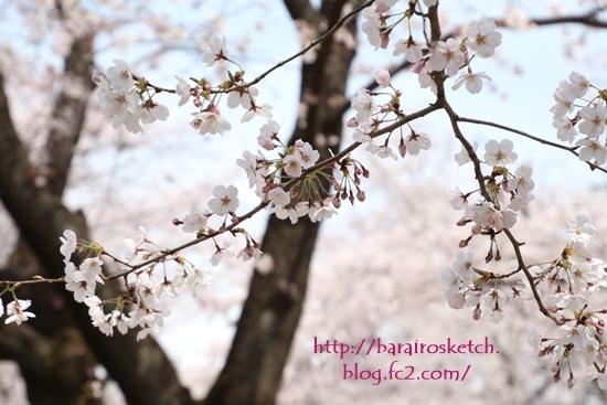 桜201704-14