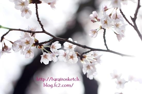 桜201704-15