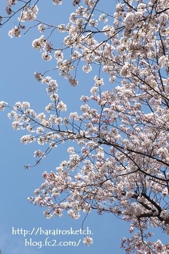 桜201704-23