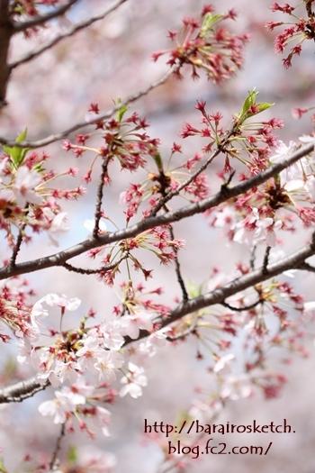 桜201704-26