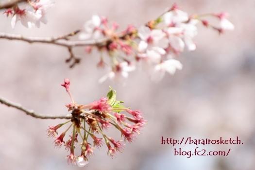 桜201704-27
