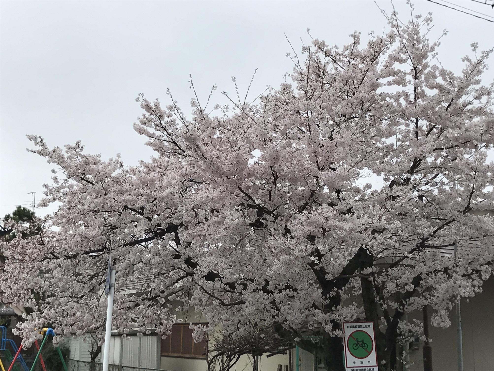 ソメイヨシノ(JR六地蔵駅前)