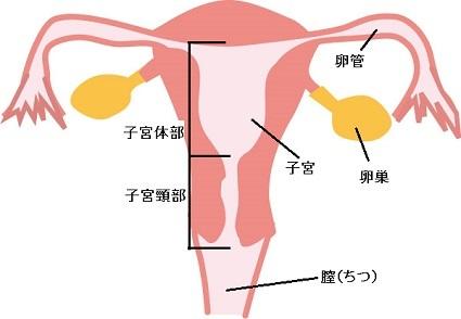 子宮断面図
