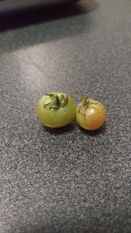 朽ちたトマト