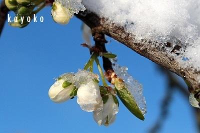 plum-tree.jpg