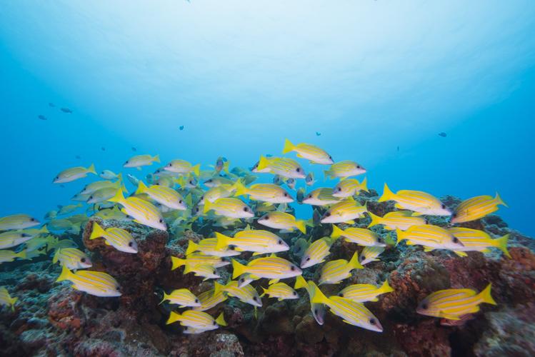 水納島のヨスジフエダイ
