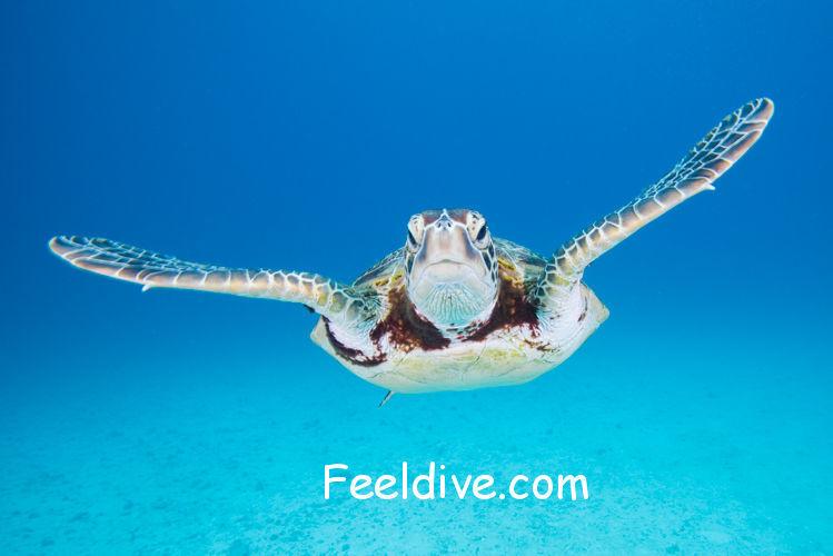 水納島のアオウミガメ