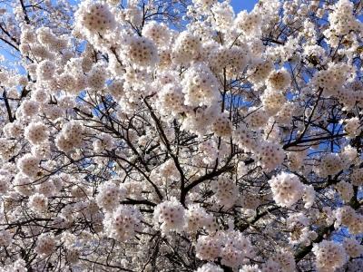 三春の滝桜裏手のソメイヨシノ