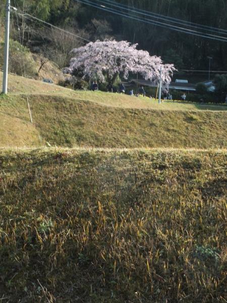 しだれ桜遠景03
