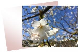 20170405桜A