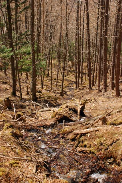 瑞牆山の登山道_瑞牆山荘コース_落葉したカラマツの木立