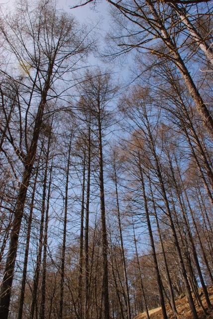 落葉したカラマツの木立と抜けるような青空