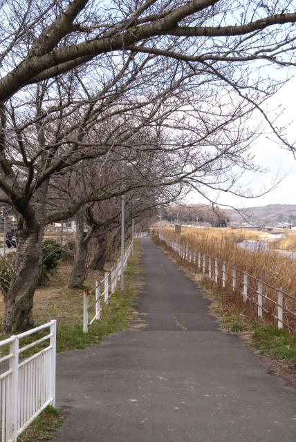 JR道場駅_武庫川堤防の桜並木