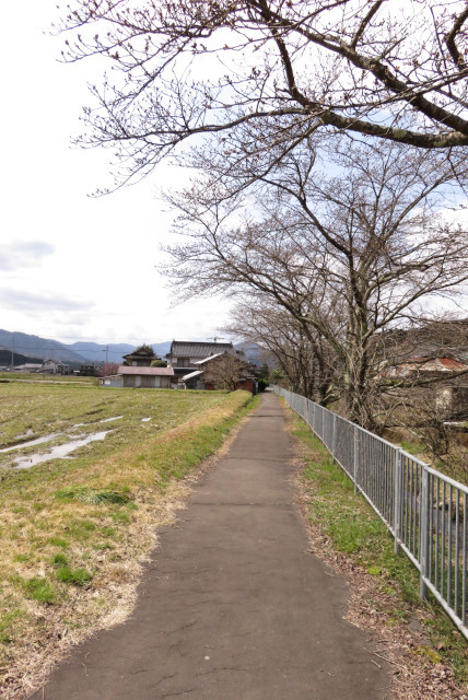 山東_柴川の桜づつみ回廊
