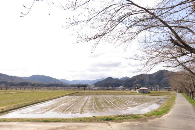 柴川_桜並木