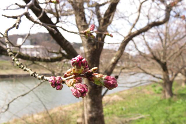 ピンクの桜つぼみ