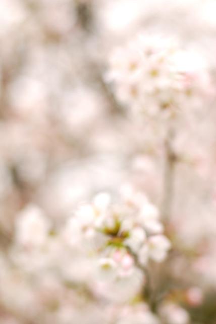山東_柴川_満開の桜