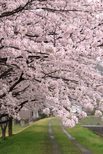 和田山_円山川_満開の桜