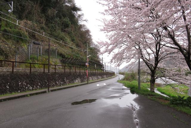 山陰本線と桜