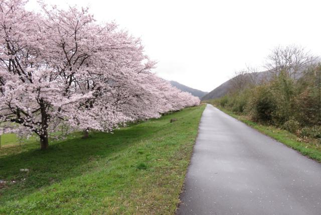 円山川_桜づつみ回廊
