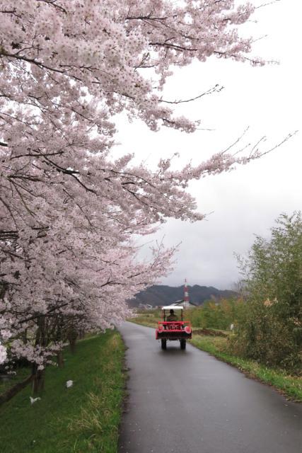 円山川_桜とトラクター