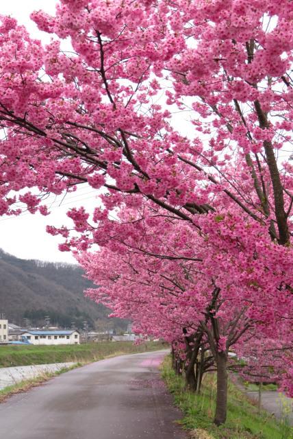 真っピンクの桜