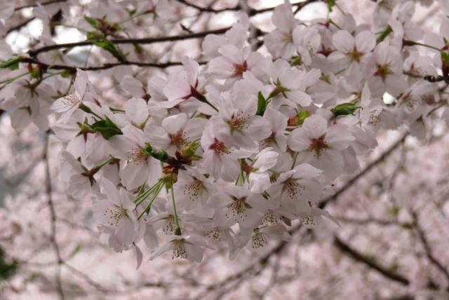 桜_ソメイヨシノ