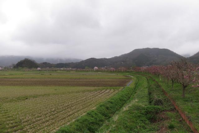 八鹿_円山川堤防_桜