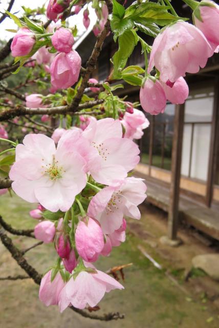 青谿書院の桜