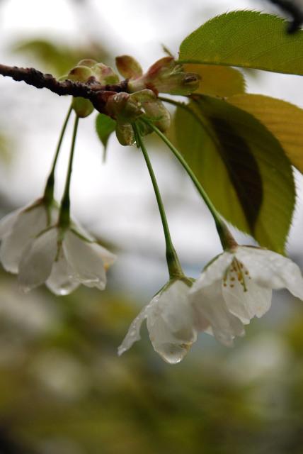雨に濡れたオオシマサクラ