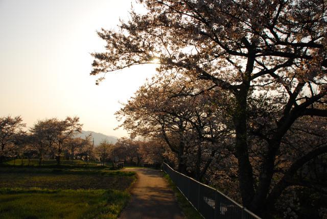 山東_桜_兵庫但馬