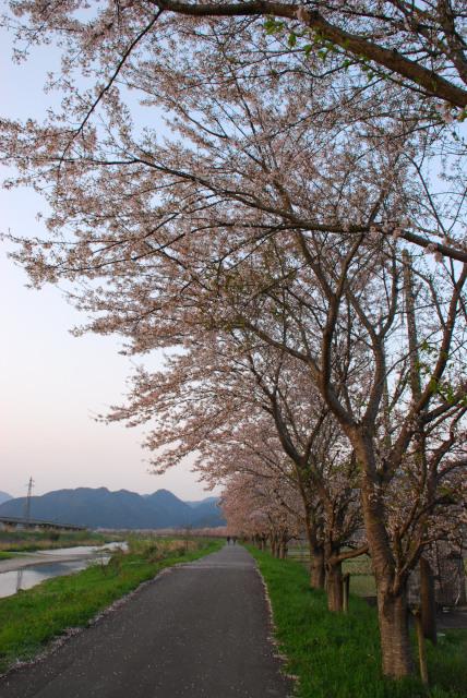 氷上_加古川堤防の桜並木