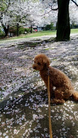 桜も見納め