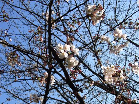 ぶーほー地方も桜咲く~(^_-)-☆