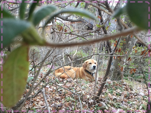庭に潜む犬