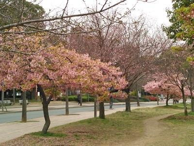 nagainosakura.jpg