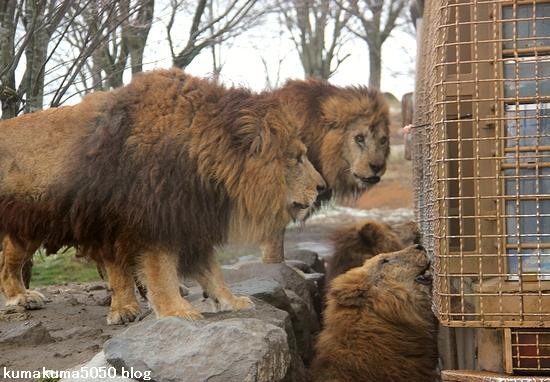 ライオン_1381