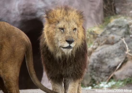ライオン_1385