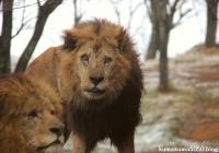 ライオン_1393