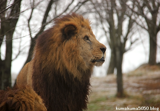 ライオン_1394