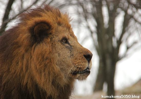 ライオン_1395
