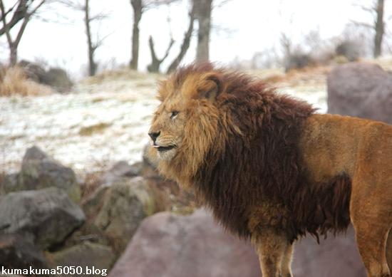 ライオン_1397