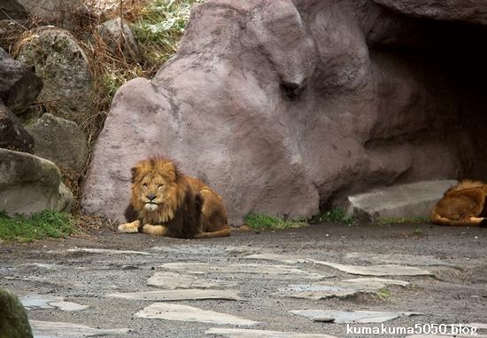 ライオン_1409