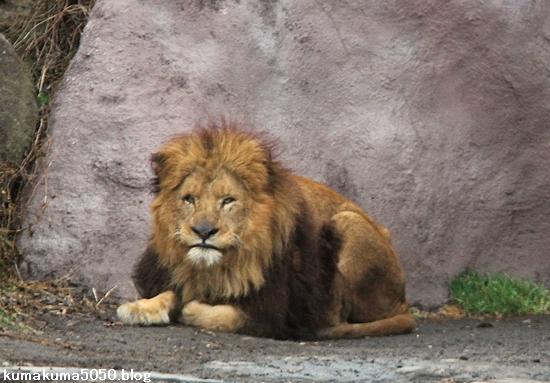 ライオン_1410