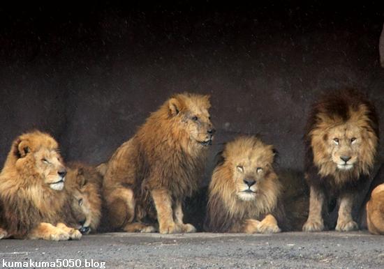 ライオン_1411