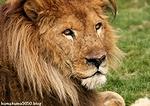 ライオン_1442