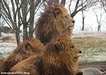 ライオン_1444